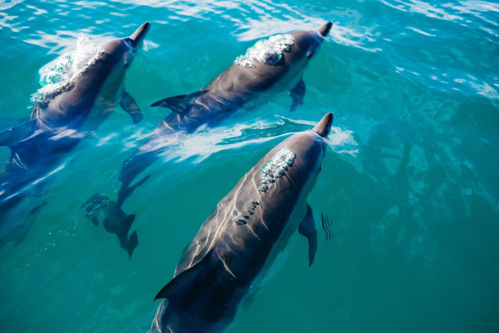 dolphins swimming in the Great Australian Bight