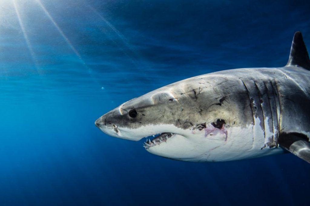 Great White Shark showing teeth, swimming in the ocean